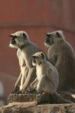 Langur di Hanuman Fotografie Stock