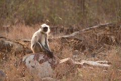 Langur di Hanuman che si siede sulle rocce in sole Immagini Stock
