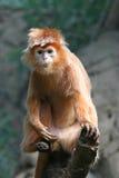 Langur do ébano - alguma grão visível Fotos de Stock Royalty Free