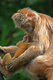 Langur do ébano com infante - s imagem de stock