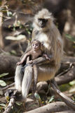 Langur ed il suo bambino. Fotografia Stock Libera da Diritti