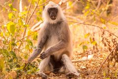 Langur giving a cute look at the visitors in the forest. Area Stock Photos