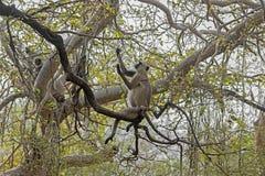 Langur grigio (Semnopithecus) Fotografie Stock Libere da Diritti