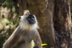 Langur grigio trapuntato nel parco nazionale di Minneriya, Sri Lanka Immagine Stock Libera da Diritti