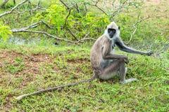 Langur grigio trapuntato in Yala, Sri Lanka Fotografia Stock Libera da Diritti