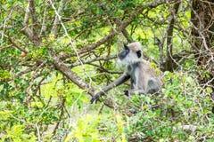 Langur grigio trapuntato in Yala, Sri Lanka Fotografia Stock