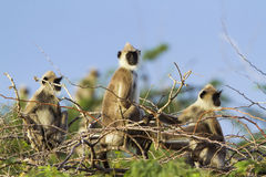 Langur gris copetudo en el parque nacional de Bundala, Sri Lanka Imagen de archivo