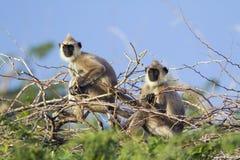 Langur gris copetudo en el parque nacional de Bundala, Sri Lanka Fotografía de archivo libre de regalías