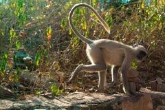 Langur Hanuman sur la barrière de village image libre de droits