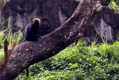 Langur himalayano in parco zoologico indiano immagini stock libere da diritti