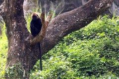 Langur himalayano in parco zoologico indiano fotografia stock libera da diritti