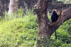 Langur himalayano in parco zoologico indiano immagine stock
