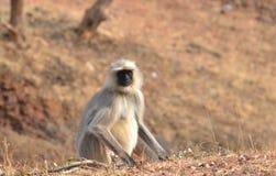Langur /Indian южного Langur /Common langur равнин серого серый (dussumieri semnopithecus) Стоковое фото RF