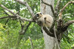 Langur indiano -12 Fotografia Stock Libera da Diritti