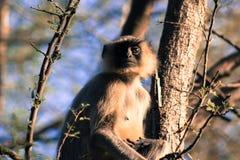Langur & x28; Indiano Monkey& x29; Fotografia de Stock