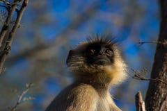 Langur (indischer Affe) Lizenzfreie Stockfotos
