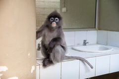 Langur, Leaf Monkey Stock Image