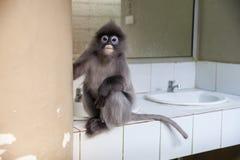 Langur, liść małpa Obraz Stock
