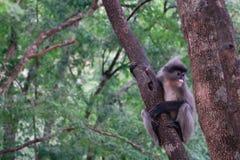 Langur lub liścia małpa na tamaryndy drzewie zdjęcia stock