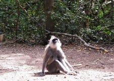 Langur małpa przy Monkeyland na Ogrodowej trasie, Południowa Afryka zdjęcia stock