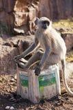 Langur małpa Obrazy Stock