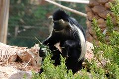 Langur monkey. Stock Photography