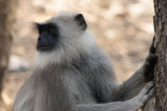 Langur Monkey Stock Photos