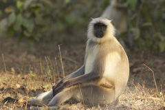 Langur monkey. Hnuman langur monkey looking at the camera Royalty Free Stock Photography