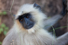Langur monkey Stock Image