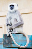 Langur monkey Stock Photography