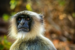 Langur monkey face Royalty Free Stock Images