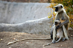 Langur monkey family Stock Images
