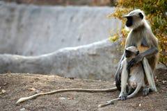 Langur monkey family Stock Images