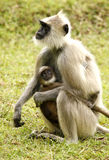 Langur monkey. Hanuman langur monkey with baby at muthumalai forest tamil nadu india Royalty Free Stock Images