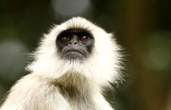 Langur monkey Royalty Free Stock Photography