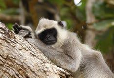 Langur monkey Royalty Free Stock Image