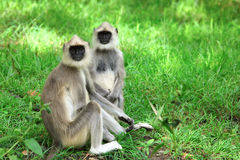 Langur Monkey Royalty Free Stock Photos