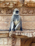 Langur monkey near the Victory Tower, Chittaurgarh Stock Photos