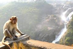 Monkey posing on Shimsa falls, India Royalty Free Stock Image