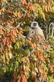 Langur in a tree. Stock Image