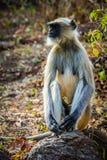 Langur monkey Stock Photography