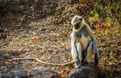 Langur monkey Royalty Free Stock Photo