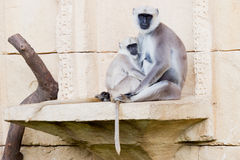 Langur monkeys Royalty Free Stock Photo