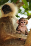 Langur mother and child Stock Image