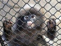 Langur-oder Blatt-Affe im Käfig Stockfoto