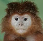 Langur portrait Royalty Free Stock Photo