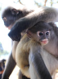 Langur-Primas-Affe steht seinen Arm auf dem Kopf eines nahe gelegenen Knaben still Stockbilder