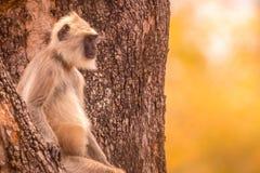 Langur que da una mirada linda en los visitantes en el bosque Foto de archivo