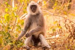 Langur que da una mirada linda en los visitantes en el bosque Fotos de archivo