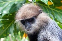 langur Roxo-enfrentado - macaco Fotos de Stock